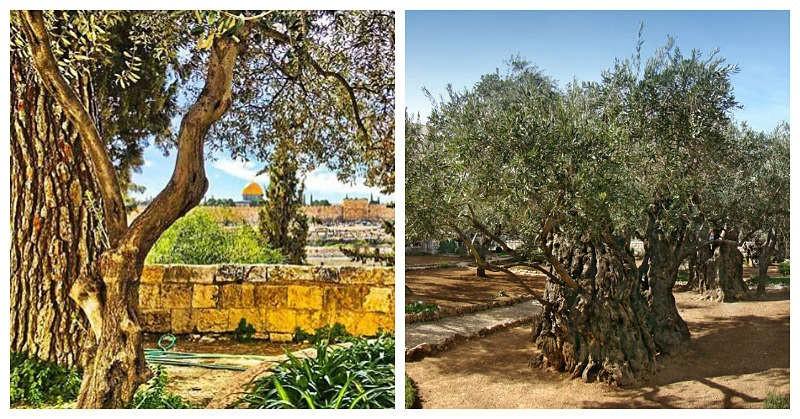 Huerto de los Olivos Getsemaní Israel Jerusalem
